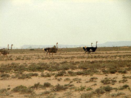 Course d'autruches -Somalie Land-Sept 09