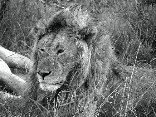 Lion-Masai Mara-Déc 09