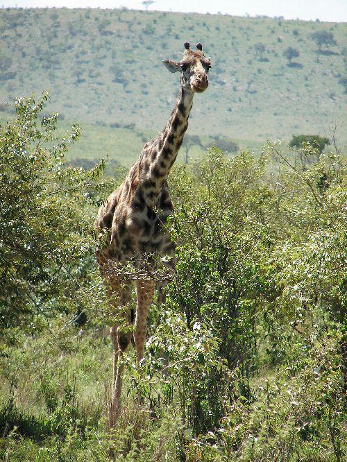 Girafe-Masai Mara-Déc 09