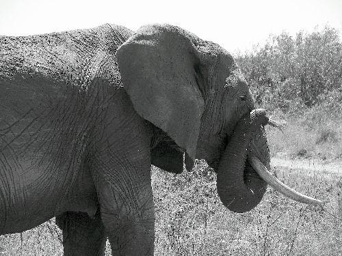 Eléphants-Masai Mara-Déc 09
