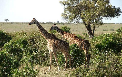 Girafes-Masai Mara-Déc 09