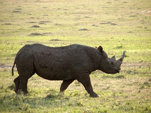 Rhinocéros-Masai Mara-Déc 09
