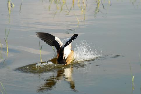 Canard sauvage - Lac Awasa - Octobre 2010