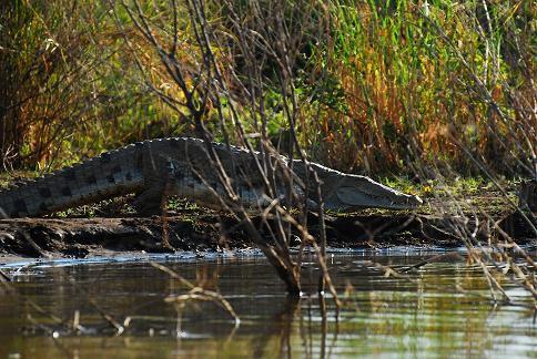 Les crocodiles du lac Chamo - Arbaminch - Déc. 2010
