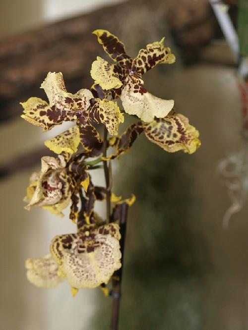 Grammatophyllum-speciosum