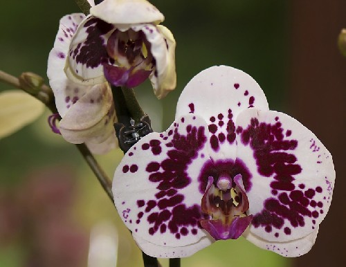 Phalaenopsis-hybride-type-t.