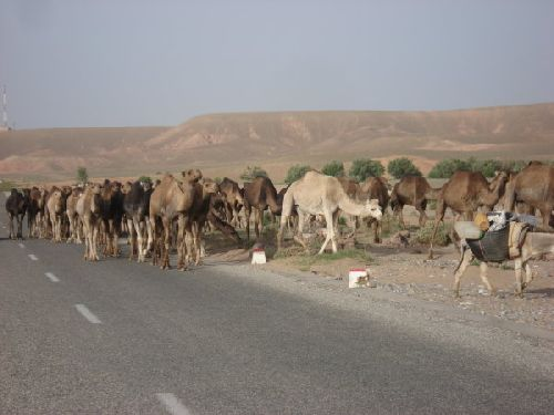 Route Ouarzazate / Errachidia : 2 - Troupeau de Dromadaires