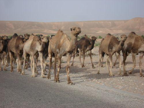 Route Ouarzazate / Errachidia : 3 - Troupeau de Dromadaires