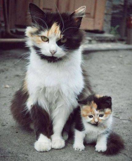 Maman chat tricolore et son sosie de fille