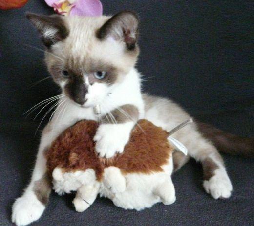 Petit croisé siamois et son jouet favori.