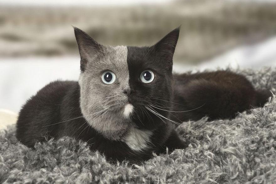 Encore un magnifique chat double face !