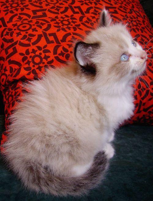 Magnifique chaton angora siamois