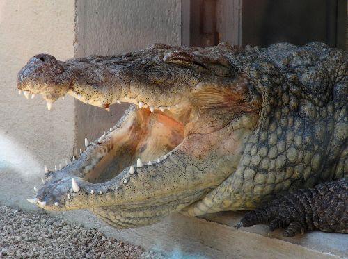 Crocodile: impressionnant! Il mesurait au moins 6 mètres...