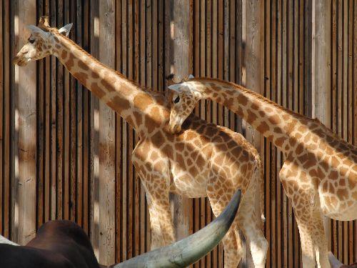 Calins de  girafe !