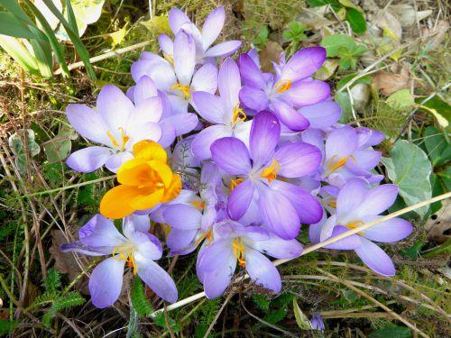 Pour fêter le retour du  printemps 2011 un bouquet de crocus!