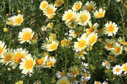 Fleurs sauvages d\'At Leqsar