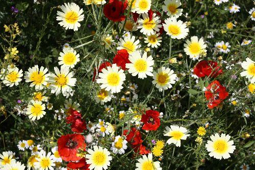 Fleurs sauvages d'At Leqsar