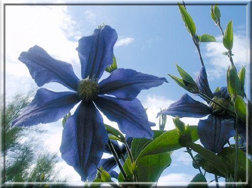 Clématite bleu