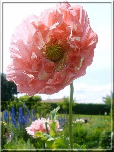 Pavot annuel à fleur double