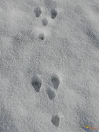 trace de lapin.jpg