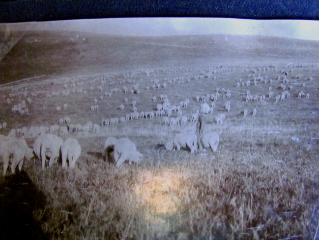 Transhumance sur Connexe des moutons du Baron de Sambucy de Sorgues (région d'Arles) avec le berger Joseph Gaspard vers 1940_R.jpg
