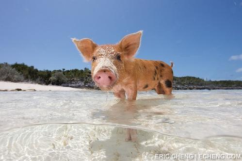 pig-beach.jpg