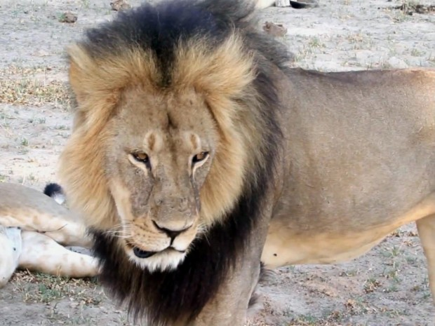 le_lion_cecil_etaitlastarduparchwangearchives.jpg