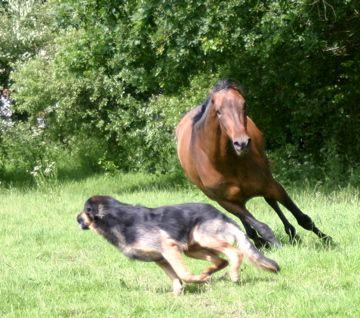 Ou le cheval prédateur ?