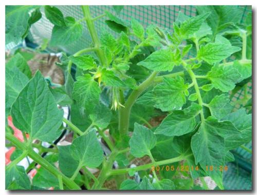 mini-Tomates 20-05-2014 (9).JPG