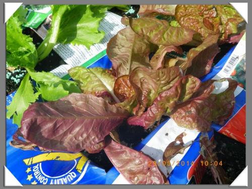mini-Salades 29-05-2014 (3) .JPG