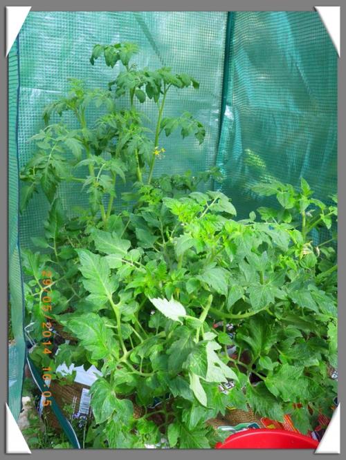 mini-Tomates 29-05-2014 (9).JPG
