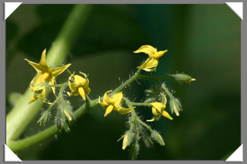 Tomates 08-06-2014 (0).JPG