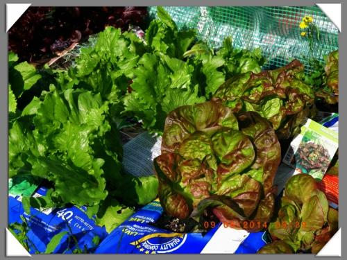 mini-Salades 09-06-2014 (4) .JPG