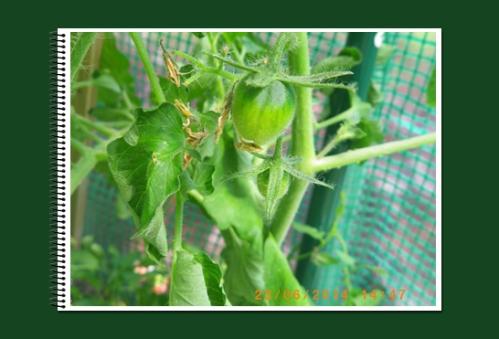 mini-Tomates 23-06-2014 (1).JPG