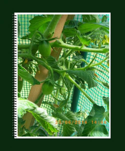 mini-Tomates 23-06-2014 (0).JPG
