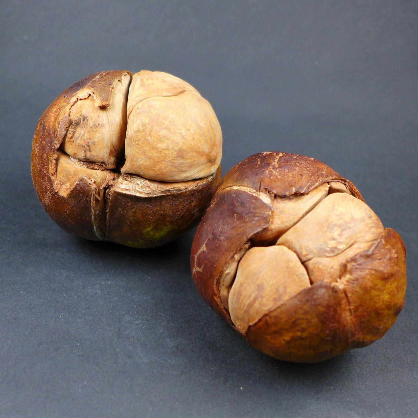 puzzlenuts   fruit du xylocarpus moluccensis