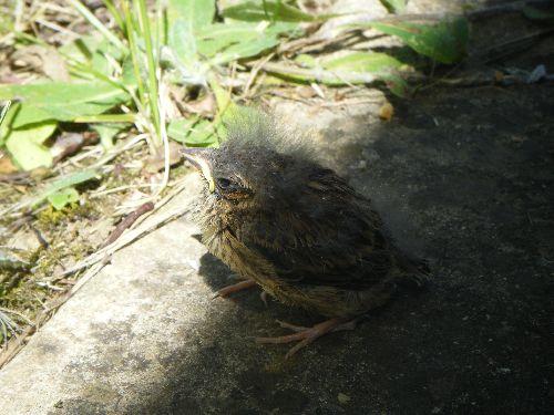 un des bébés merles à la sortie du nid