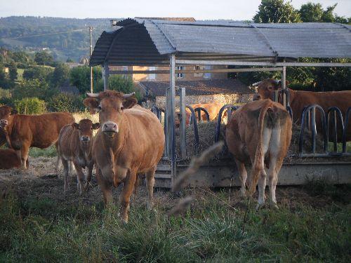 quelques vaches