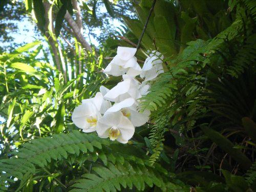 orchidé blanche