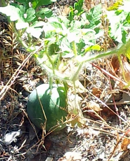 Melon 27 juil 13.jpg