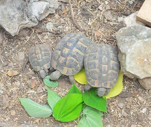 Les tortues au repas 24 août 13.jpg