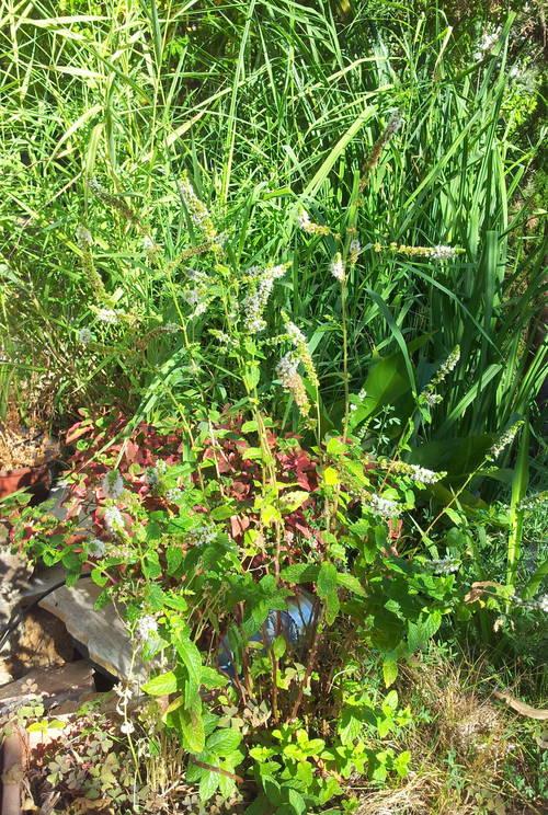 menthe en floraison proche bassin 21 août 13.jpg