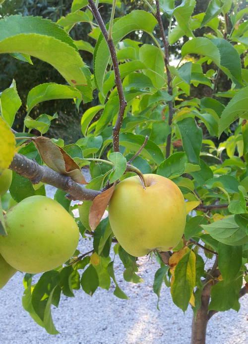 Pommes 19 août 13.jpg