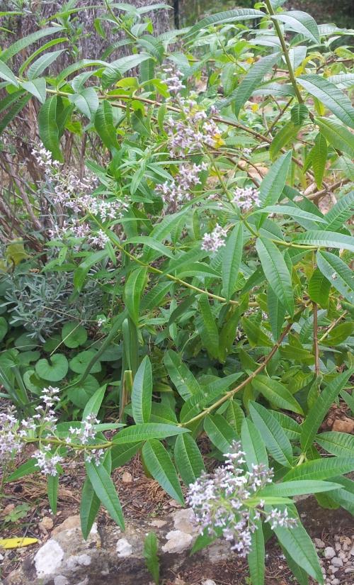 Verveine en floraison  20 oct 13.jpg
