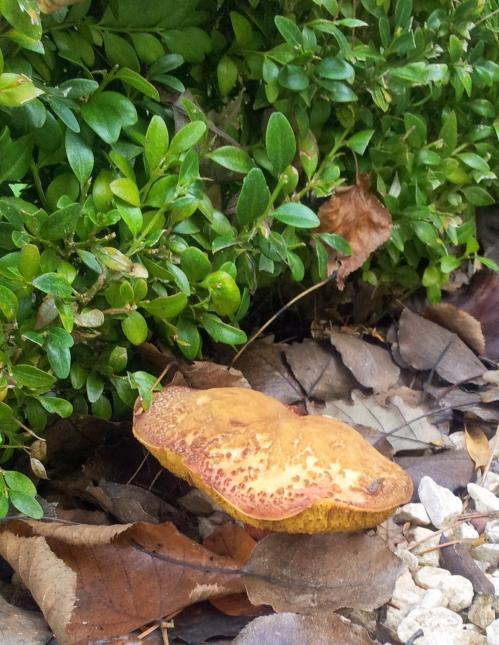 champignons 1 nov 13.jpg