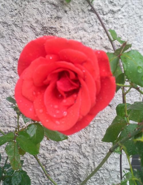 Rose rouge 15 oct 13.jpg