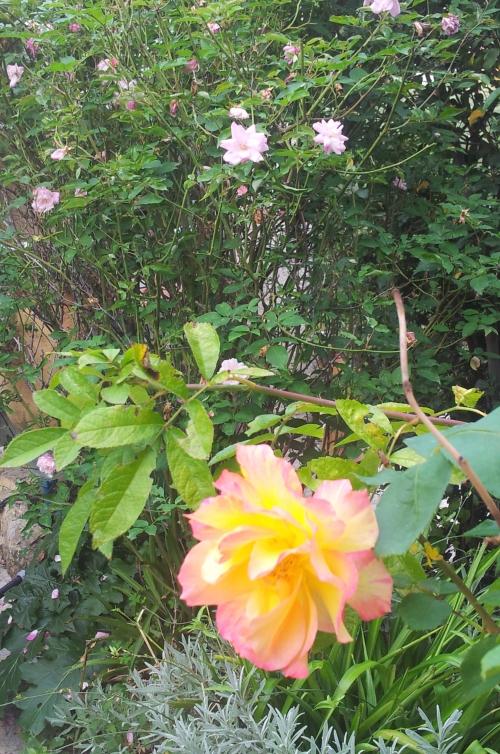 Roses 3 nov 13.jpg