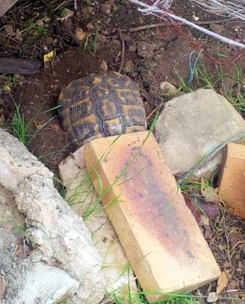 la tortue s'enterre 13 dec 13.jpg