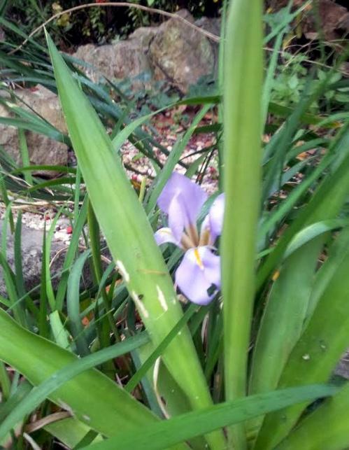 Iris d'alger 10 dec 13.jpg