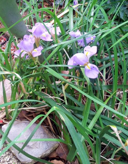 Iris alger 24 dec 13.jpg